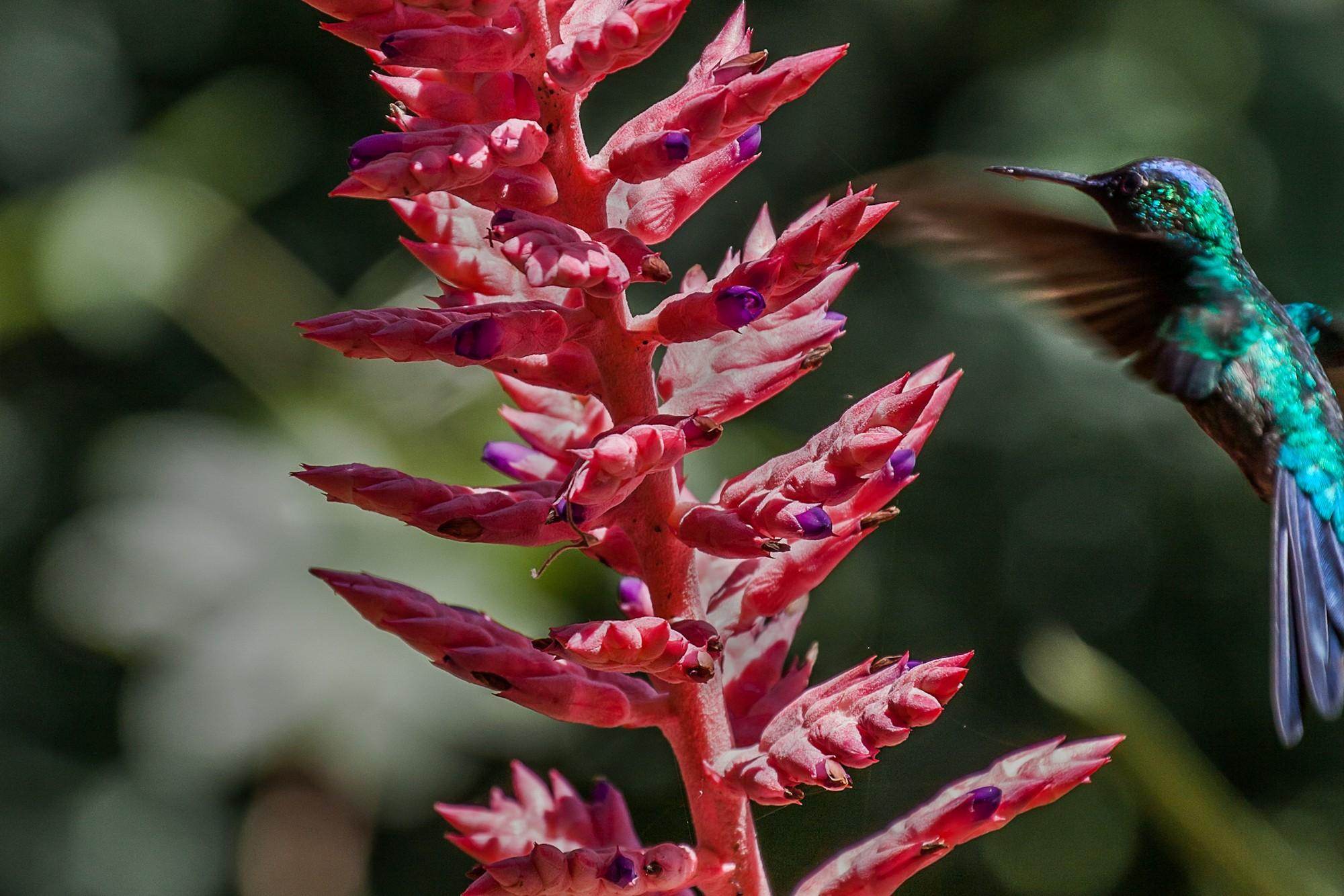 Colibri-y-bromelia-2k