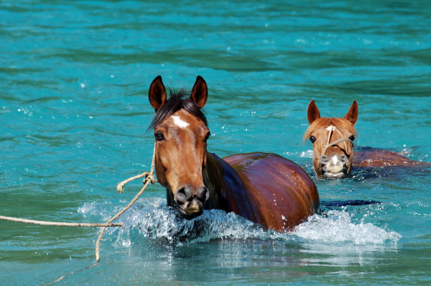Horses-swiming-the-puelo-river-1500